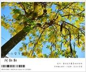 阿勃勒,台南賞花地點公開,初夏最金黃耀眼的綻放:nEO_IMG_20130602 292.jpg