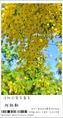 阿勃勒,台南賞花地點公開,初夏最金黃耀眼的綻放:nEO_IMG_20130602 200.jpg