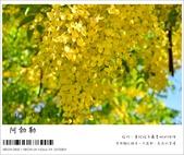 阿勃勒,台南賞花地點公開,初夏最金黃耀眼的綻放:nEO_IMG_20130602 201.jpg