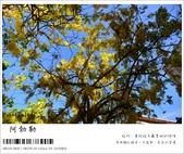 阿勃勒,台南賞花地點公開,初夏最金黃耀眼的綻放:nEO_IMG_20130602 1397.jpg