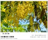 阿勃勒,台南賞花地點公開,初夏最金黃耀眼的綻放:nEO_IMG_20130602 204.jpg