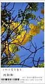 阿勃勒,台南賞花地點公開,初夏最金黃耀眼的綻放:nEO_IMG_20130602 1398.jpg