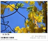 阿勃勒,台南賞花地點公開,初夏最金黃耀眼的綻放:nEO_IMG_20130602 1399.jpg