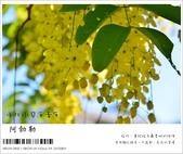 阿勃勒,台南賞花地點公開,初夏最金黃耀眼的綻放:nEO_IMG_20130602 205.jpg