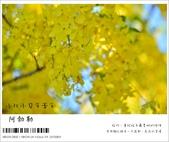 阿勃勒,台南賞花地點公開,初夏最金黃耀眼的綻放:nEO_IMG_20130602 098.jpg