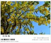 阿勃勒,台南賞花地點公開,初夏最金黃耀眼的綻放:nEO_IMG_20130602 248.jpg