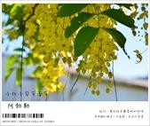 阿勃勒,台南賞花地點公開,初夏最金黃耀眼的綻放:nEO_IMG_20130602 206.jpg