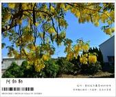 阿勃勒,台南賞花地點公開,初夏最金黃耀眼的綻放:nEO_IMG_20130602 249.jpg