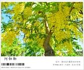 阿勃勒,台南賞花地點公開,初夏最金黃耀眼的綻放:nEO_IMG_20130602 182.jpg