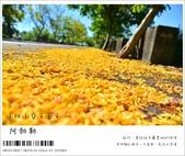 阿勃勒,台南賞花地點公開,初夏最金黃耀眼的綻放:nEO_IMG_20130602 298.jpg