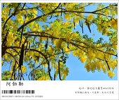 阿勃勒,台南賞花地點公開,初夏最金黃耀眼的綻放:nEO_IMG_20130602 253.jpg