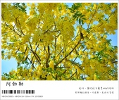 阿勃勒,台南賞花地點公開,初夏最金黃耀眼的綻放:nEO_IMG_20130602 100.jpg
