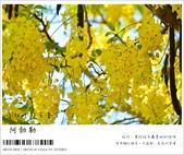 阿勃勒,台南賞花地點公開,初夏最金黃耀眼的綻放:nEO_IMG_20130602 390.jpg