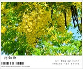 阿勃勒,台南賞花地點公開,初夏最金黃耀眼的綻放:nEO_IMG_20130602 183.jpg