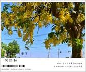 阿勃勒,台南賞花地點公開,初夏最金黃耀眼的綻放:nEO_IMG_20130602 208.jpg