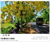 阿勃勒,台南賞花地點公開,初夏最金黃耀眼的綻放:nEO_IMG_20130602 102.jpg
