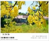阿勃勒,台南賞花地點公開,初夏最金黃耀眼的綻放:nEO_IMG_20130602 391.jpg