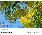 阿勃勒,台南賞花地點公開,初夏最金黃耀眼的綻放:nEO_IMG_20130602 185.jpg