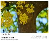 阿勃勒,台南賞花地點公開,初夏最金黃耀眼的綻放:nEO_IMG_20130602 103.jpg