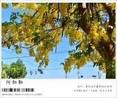 阿勃勒,台南賞花地點公開,初夏最金黃耀眼的綻放:nEO_IMG_20130602 209.jpg