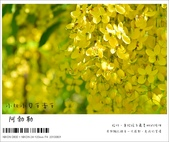 阿勃勒,台南賞花地點公開,初夏最金黃耀眼的綻放:nEO_IMG_20130602 186.jpg