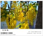 阿勃勒,台南賞花地點公開,初夏最金黃耀眼的綻放:nEO_IMG_20130602 104.jpg