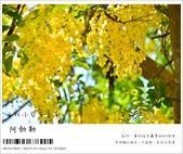 阿勃勒,台南賞花地點公開,初夏最金黃耀眼的綻放:nEO_IMG_20130602 393.jpg