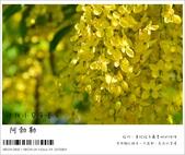 阿勃勒,台南賞花地點公開,初夏最金黃耀眼的綻放:nEO_IMG_20130602 187.jpg