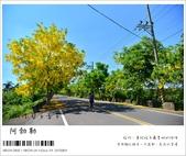 阿勃勒,台南賞花地點公開,初夏最金黃耀眼的綻放:nEO_IMG_20130602 064.jpg