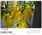 阿勃勒,台南賞花地點公開,初夏最金黃耀眼的綻放:nEO_IMG_20130602 105.jpg