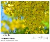 阿勃勒,台南賞花地點公開,初夏最金黃耀眼的綻放:nEO_IMG_20130602 188.jpg