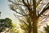 學甲欖仁樹:DSC_2266_調整大小.JPG