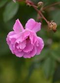 浪漫玫瑰花:DSC_0285_調整大小.JPG
