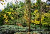 銀杏森林:DSC_0025_調整大小.JPG