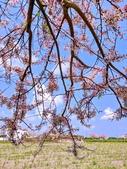 2020 與春天有約 三月 花旗木:IMG_20200327_095626_調整大小.jpg