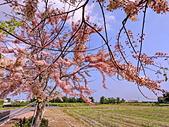 三月櫻~熱力綻放 花旗木:IMG_20200327_091017_調整大小.jpg