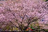陽明山 橘餐廳 櫻花賞 4.10:DSC_0252_調整大小.JPG
