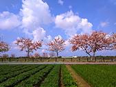 三月櫻~熱力綻放 花旗木:IMG_20200327_093716_調整大小.jpg