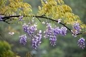 紫籐霧雨:DSC_5860_調整大小.JPG