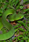 蛇息:赤尾青竹絲