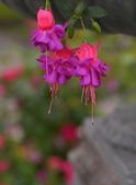 浪漫玫瑰花:DSC_0398_調整大小.JPG