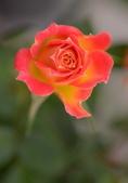 浪漫玫瑰花:DSC_0348_調整大小.JPG