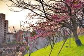 內湖 櫻花 2020:DSC_0794_調整大小.JPG
