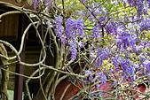 粗坑窯 紫藤:DSC_9698_調整大小.JPG