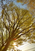 學甲欖仁樹:DSC_2304_調整大小.JPG