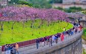 內湖 櫻花 2020:DSC_0920_調整大小.JPG