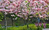 春色滿園 花旗木:DSC_0266_調整大小.JPG