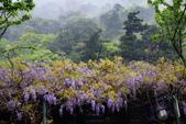 紫籐霧雨:DSC_5955_調整大小.JPG
