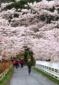 日本 平成時期的最後櫻花...2019:83220A29-A10D-4C15-A0A3-8B76BF9252D6_調整大小.jpg
