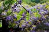 粗坑窯 紫藤:DSC_9811_調整大小.JPG